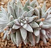 格诺玛5头5272 Dudleya White gnoma(White greenii / White sprite)