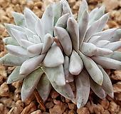 格诺玛2头5282 Dudleya White gnoma(White greenii / White sprite)
