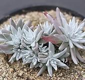 格诺玛群生(紫心)1-7688 Dudleya White gnoma(White greenii / White sprite)