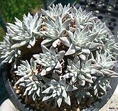格诺玛(30头로분지)0519 Dudleya White gnoma(White greenii / White sprite)