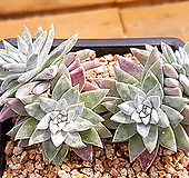 格诺玛3(5头一体老庄)X051903 Dudleya White gnoma(White greenii / White sprite)