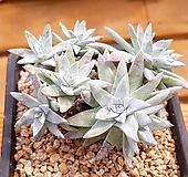 格诺玛5(8头一体老庄)X051905 Dudleya White gnoma(White greenii / White sprite)