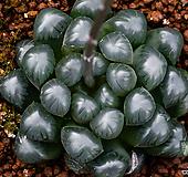 대자(大紫) obtusa-4-15-No.자색이 더욱 짙으며, 훨씬 대형으로 성장하는 특징을 가지고있습니다.|