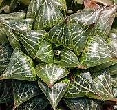 천대희(千代姬)-4-15-No.콤프토니아 고유의 강한 리커브와 나뭇잎무늬, 성장하면 할수록 웅장해지는,|