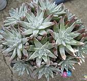 老庄格诺玛自然群生25头桩 Dudleya White gnoma(White greenii / White sprite)