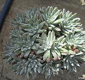 老庄格诺玛自然群生32头(桩) Dudleya White gnoma(White greenii / White sprite)