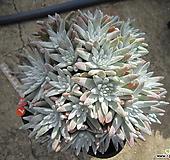 老庄格诺玛自然群生27头(桩) Dudleya White gnoma(White greenii / White sprite)