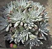 老庄格诺玛自然群生30头(桩) Dudleya White gnoma(White greenii / White sprite)