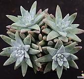 格诺玛_y45 Dudleya White gnoma(White greenii / White sprite)
