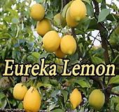 사계성 레몬트리 유레카 신품종♥레몬나무♥시트러스|