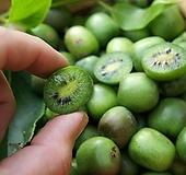 베이비키위베리♥월동가능 자가수정♥혼자서도 열매 맺어요.♥베이비 키위 베리 키위베리|