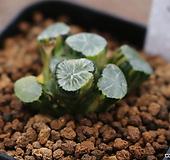 만상금-32|Haworthia maughanii variegated