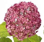 스위트 아나벨 수국 최신품종♥유럽 직수입♥애너벨|Hydrangea macrophylla