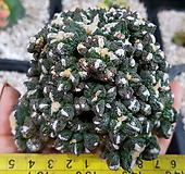 야생흑목단-모주급대품(수입,뿌리있어요)|