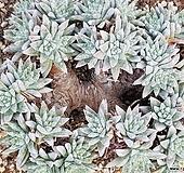 화이트그리니 8106-7225|Dudleya White gnoma(White greenii / White sprite)