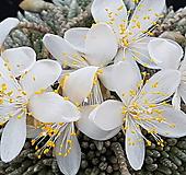 알스토니백화|Avonia quinaria ssp Alstonii