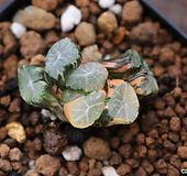 만상금-40|Haworthia maughanii variegated