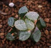 만상금-41|Haworthia maughanii variegated