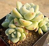 冰玉30- Echeveria Ice green