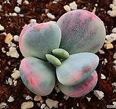 방울복랑 금_b71|Cotyledon orbiculata cv variegated