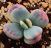 방울복랑 금_b79|Cotyledon orbiculata cv variegated