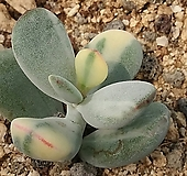 乒乓福娘锦뿌리있음|Cotyledon orbiculata cv variegated
