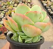 둥근叶子碧桃31-|Echeveria Peach Pride