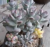 乒乓福娘锦모주老庄桩|Cotyledon orbiculata cv variegated