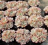 아우렌시스(특특가) 렌덤발송|Echeveria Laulensis