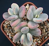 乒乓福娘锦수박錦모주|Cotyledon orbiculata cv variegated