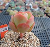 둥근叶子碧桃6-1298|Echeveria Peach Pride