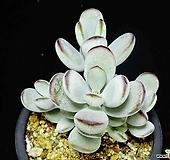 방울복랑금무지40|Cotyledon orbiculata cv variegated