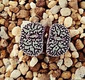 코노피튬 위트버젠스 rr714 군생 Conophytum Wittebergense