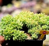 바손아이스 철화|Echeveria agavoides sp