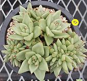 골드사치철화 Echeveria agavoides f.cristata Echeveria