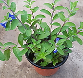 아메리카블루(꽃이 계속피고지고 하지요) 