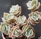 러블리로즈 자연군생 한몸 Lovely Rose