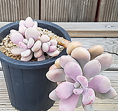 아메치스>>자연군생|Graptopetalum amethystinum