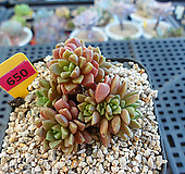 리틀쨈금7-650|X Cremnosedum Little Gem (Crassulaceae)