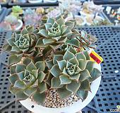 아즈타트랜시스7-663|Echeveria longissima var aztatlensis