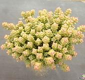 희성금 4-|Crassula Rupestris variegata