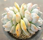오렌지먼로(중대) 4-|Echeveria Monroe(Orange)