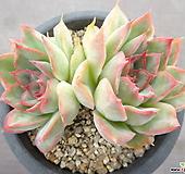 황홀한연꽃 4-|Echeveria pulidonis