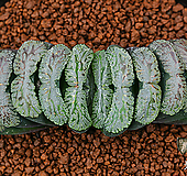 알투(R-2) 옥선 - 특가 공동구매!|Haworthia truncata