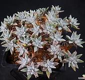 화이트그리니9 (34두한몸묵둥이,목대좋아요) X091610|Dudleya White gnoma(White greenii / White sprite)