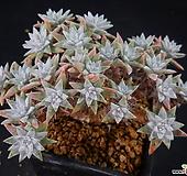 화이트그리니10 (27두분지중,목대좋아요) X091612|Dudleya White gnoma(White greenii / White sprite)