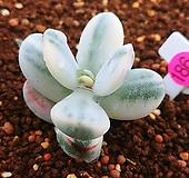 방울복랑금09162|Cotyledon orbiculata cv variegated
