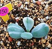 방울복랑금09168(뿌리무)|Cotyledon orbiculata cv variegated