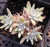 화이트그리니 10481|Dudleya White gnoma(White greenii / White sprite)