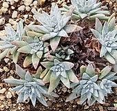 화이트그리니 8109-1614|Dudleya White gnoma(White greenii / White sprite)